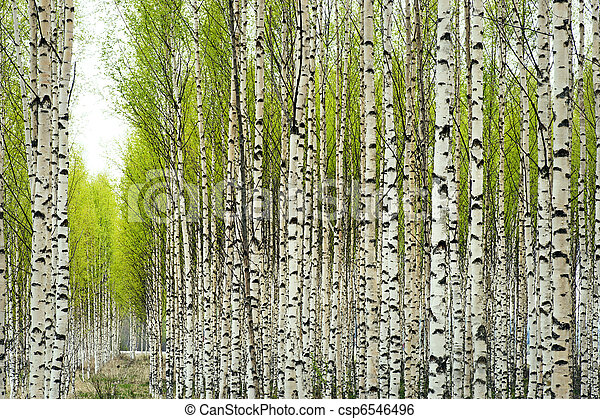 Birch Trees In Spring Birch Trees With Fresh Green Leaves In Spring