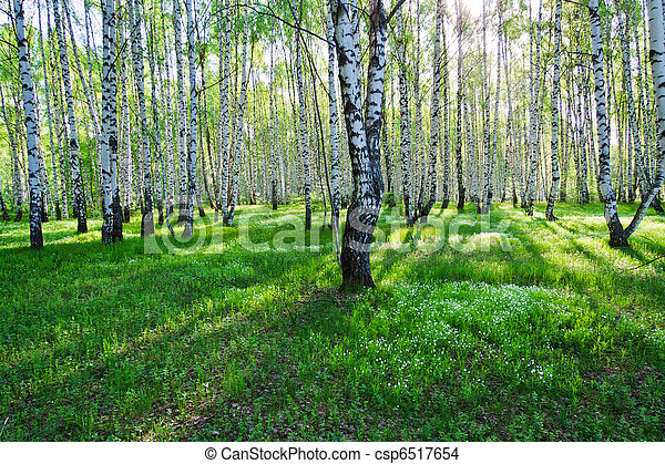 Birch trees in summer - csp6517654