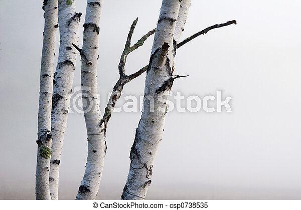 Birch Trees in the fog - csp0738535