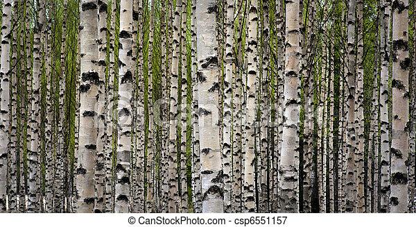 Birch trees - csp6551157