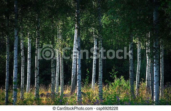 Birch trees - csp6928228