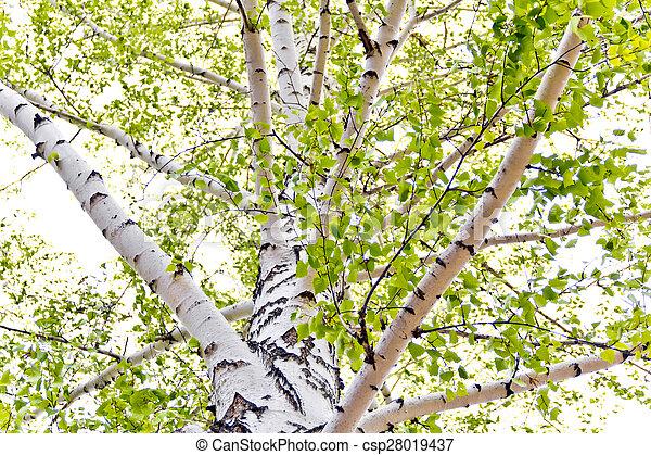 Birch trees - csp28019437