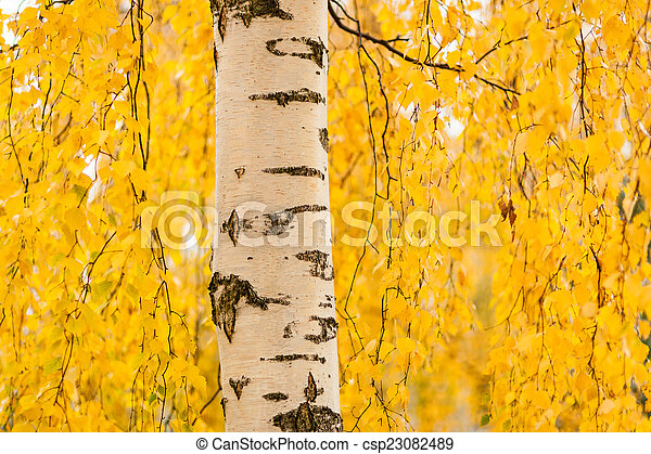Birch trunk and vibrant yellow leaves - csp23082489