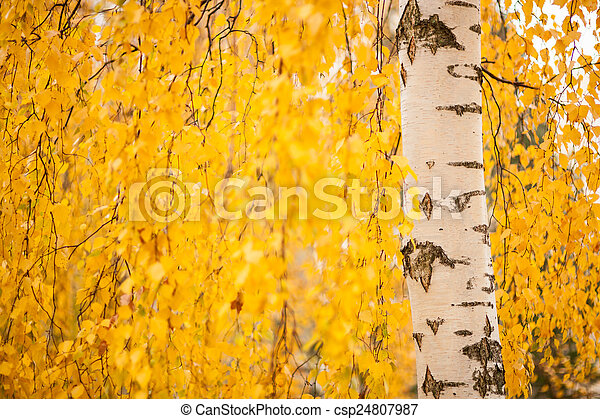Birch trunk and vibrant yellow leaves - csp24807987