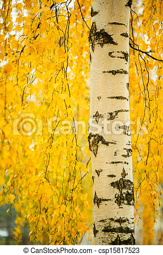 Birch trunk and vibrant yellow leaves - csp15817523