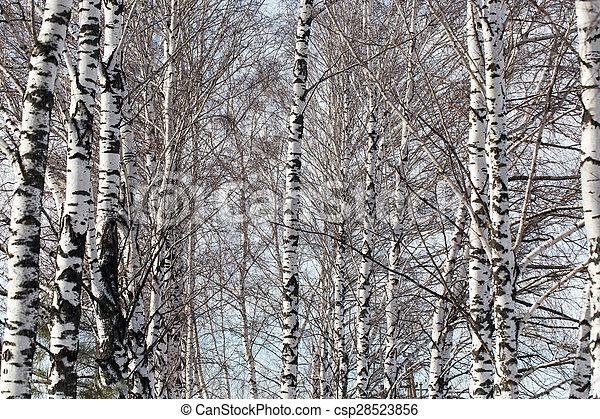 birch trunk in nature - csp28523856