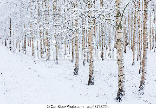 Birch wood forest covered in snow - csp43753224