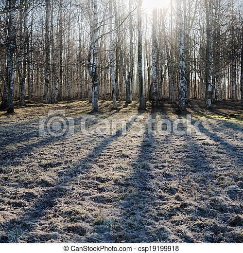Birch wood in the spring - csp19199918
