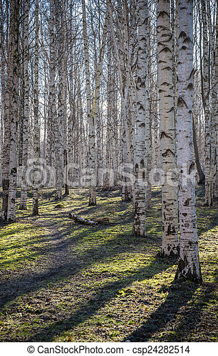 Birch wood in the spring - csp24282514
