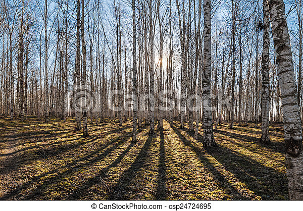 Birch wood in the spring - csp24724695