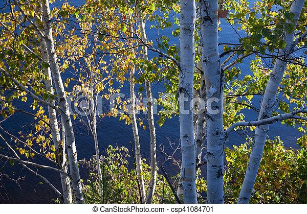 Birches on lake shore - csp41084701
