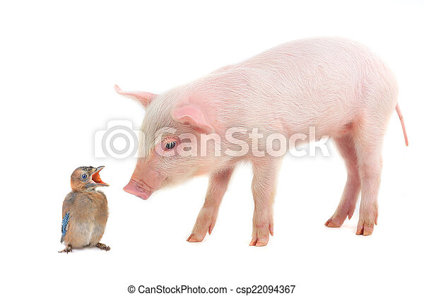 bird and  pig - csp22094367