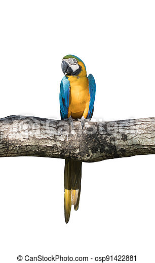 Bird Blue-and-yellow macaw standing on branches of tree isolated white background - csp91422881