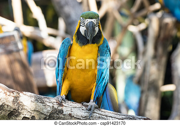 Bird Blue-and-yellow macaw standing with branches  of tree background - csp91423170