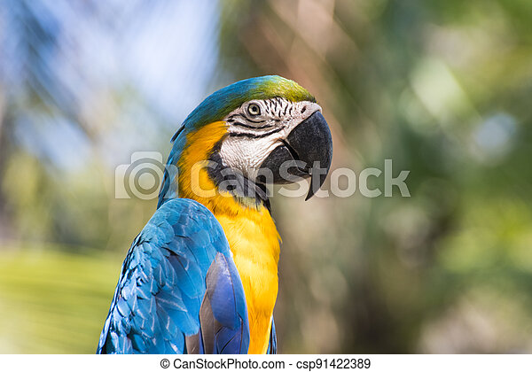 Bird Blue-and-yellow macaw standing with branches  of tree background - csp91422389