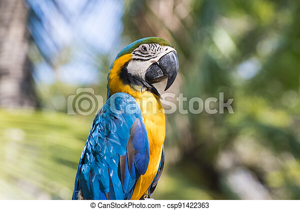 Bird Blue-and-yellow macaw standing with branches  of tree background - csp91422363