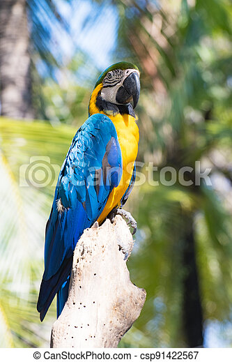 Bird Blue-and-yellow macaw standing with branches  of tree background - csp91422567