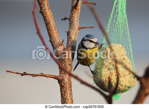 Bird - Blue Tit on tree, wildlife - csp36761805