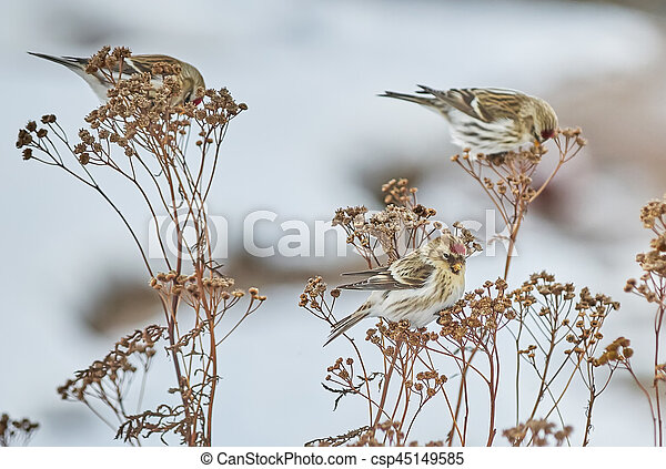 Bird Carduelis flammea on the dry grass in winter - csp45149585