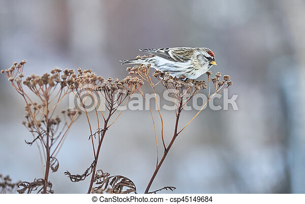 Bird Carduelis flammea on the dry grass in winter - csp45149684