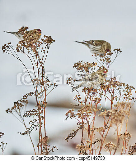 Bird Carduelis flammea on the dry grass in winter - csp45149730