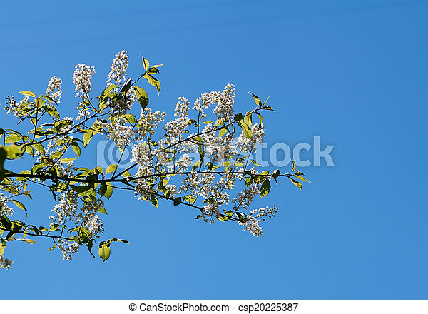 Bird cherry branch with leaves - csp20225387