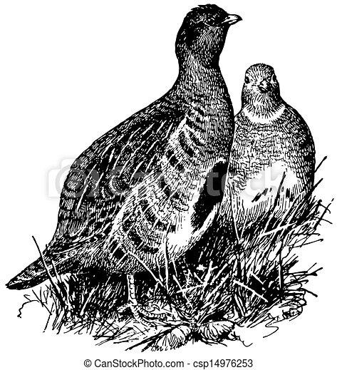 Bird Grey Partridge - csp14976253