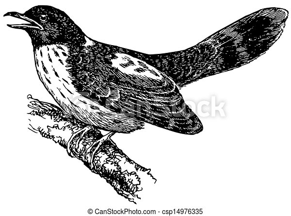 Bird Hodgsonu0026#39;s Hawk-cuckoo On The Branch Vectors - Search Clip Art Illustration Drawings And ...