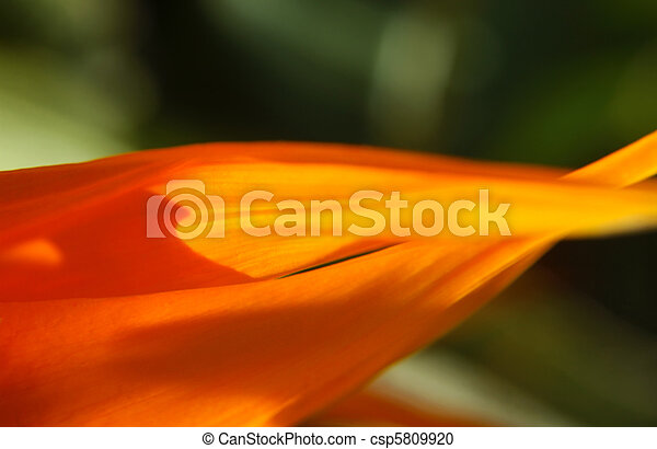Bird of Paradise Flower Petals Macro - csp5809920