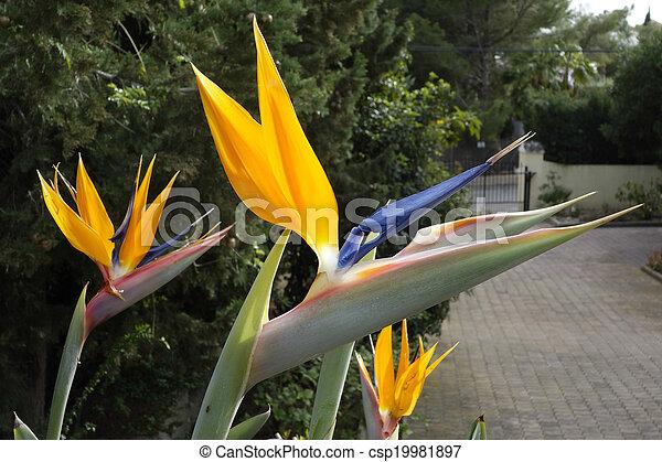 Bird of Paradise flowers - csp19981897