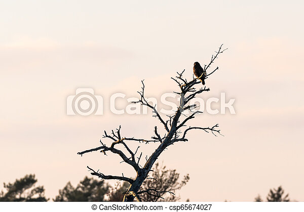 Bird of prey in a tree top - csp65674027