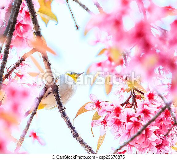 Bird on Cherry Blossom and sakura (white-eye Bird) - csp23670875