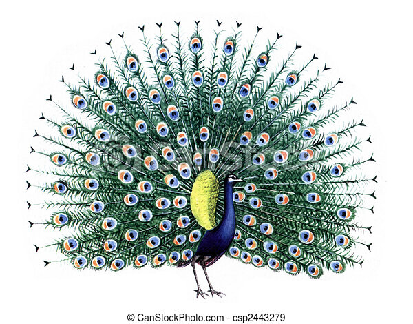 bird peacock colored drawing on the paper bird peacock isolated on