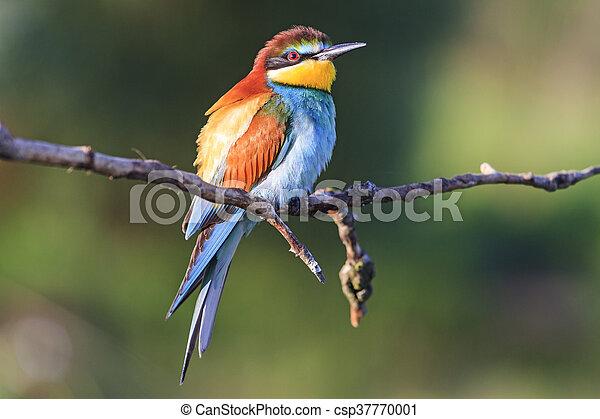 bird - rainbow sits on a branch - csp37770001