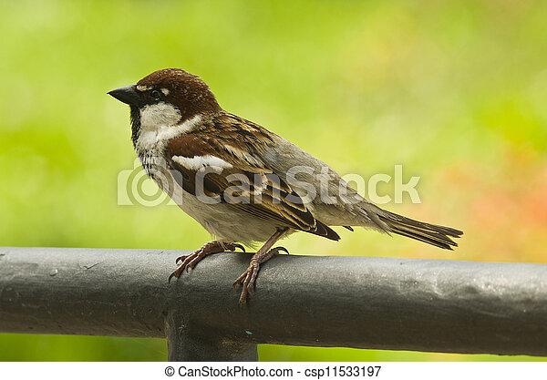 bird - tree sparrow on the green background - csp11533197