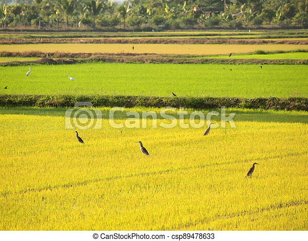 Birds looking for food in the fields of Thailand - csp89478633