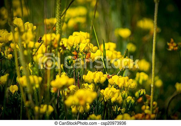 Birdsfoot trefoil lotus corniculatus leguminosae delicate birdsfoot trefoil lotus corniculatus leguminosae stock photo mightylinksfo