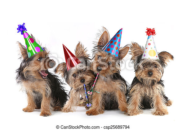 Birthday Theme Yorkshire Terrier Puppies on White  - csp25689794