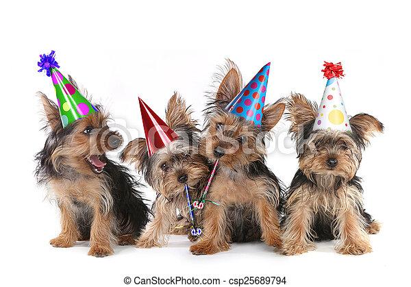 Birthday Theme Yorkshire Terrier Puppies on White  - csp25689794
