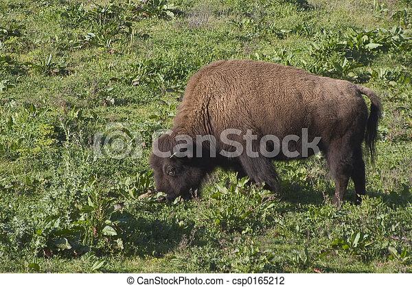 Bison #2 - csp0165212