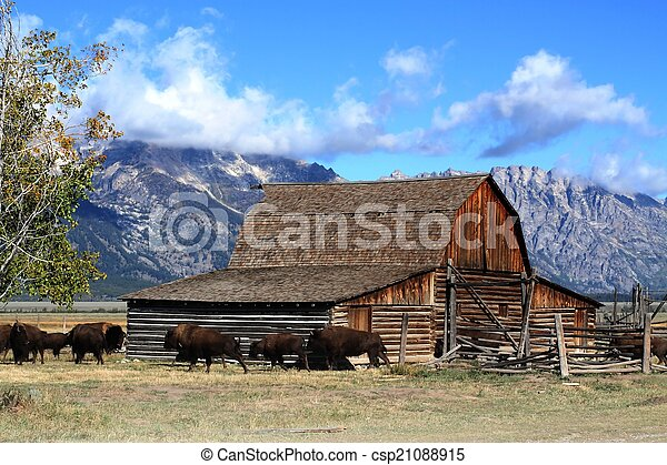 Bison and Mormon Row Barn in the Grand Tetons - csp21088915
