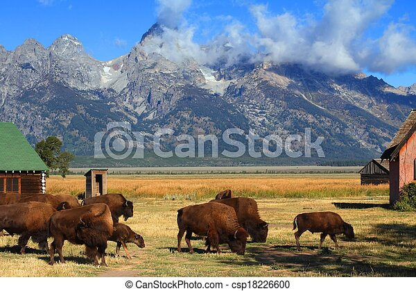 Bison and Mormon Row Barn in the Grand Tetons - csp18226600