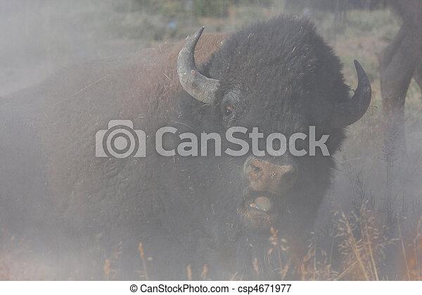 Bison Bull - csp4671977