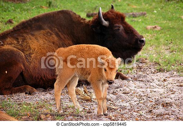 Bison Calf - csp5819445