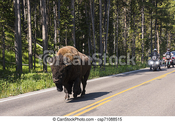 bison change the fur in Lamar Valley in Yellowstone National Park - csp71088515