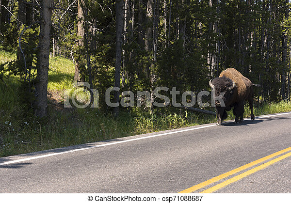 bison change the fur in Lamar Valley in Yellowstone National Park - csp71088687