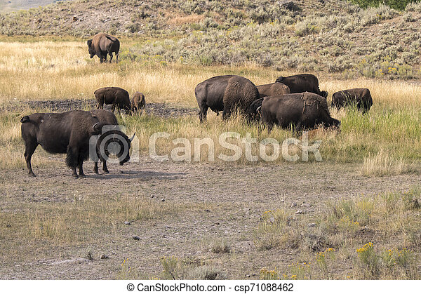 bison change the fur in Lamar Valley in Yellowstone National Park - csp71088462
