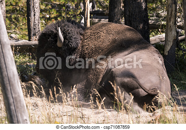 bison change the fur in Lamar Valley in Yellowstone National Park - csp71087859