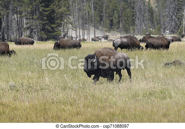 bison change the fur in Lamar Valley in Yellowstone National Park - csp71088097