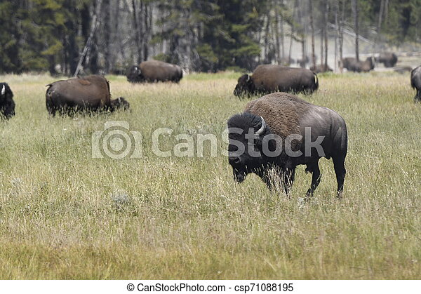 bison change the fur in Lamar Valley in Yellowstone National Park - csp71088195